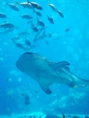 One of 4 whale sharks